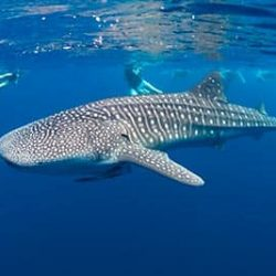 Book Exclusive Whale Shark Tours